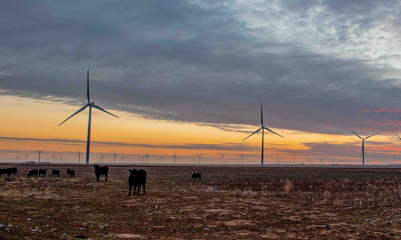 Wind turbines poke into the sunset sky over a cattle farm